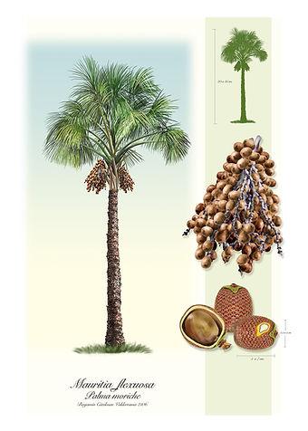 Mauritia flexuosa