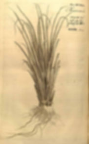 Chrysopogon zizanioides - vetiver