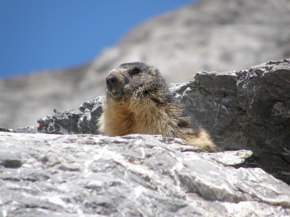 marmotte, marmotte pyrénées, marmotte montagne