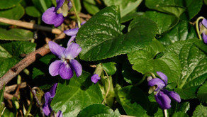 Genieten van de eerste lentebloeiers