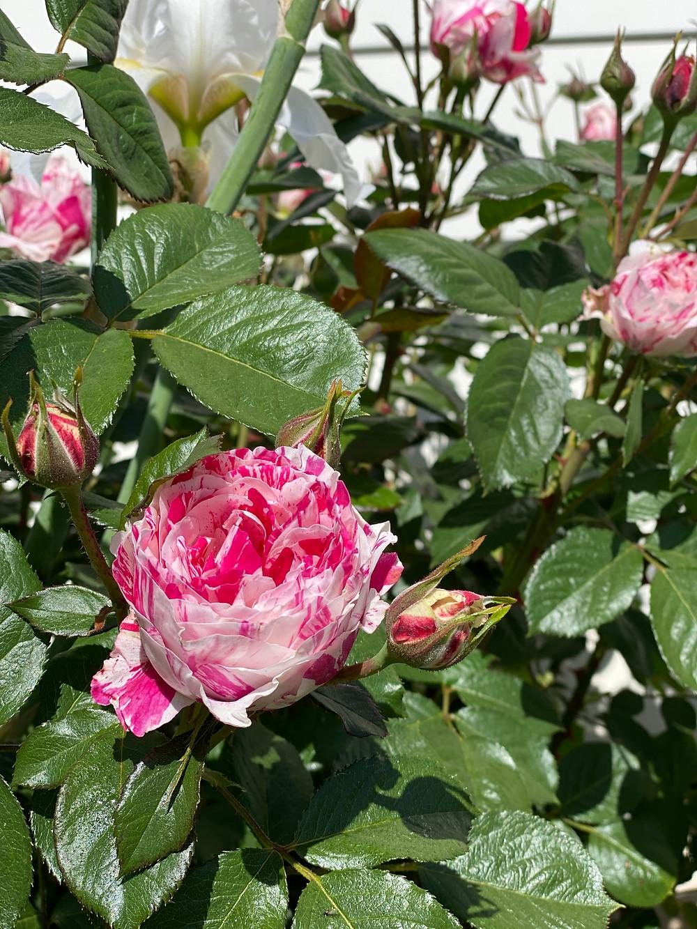 Pink and white rose bush at RockHavenFarm.com