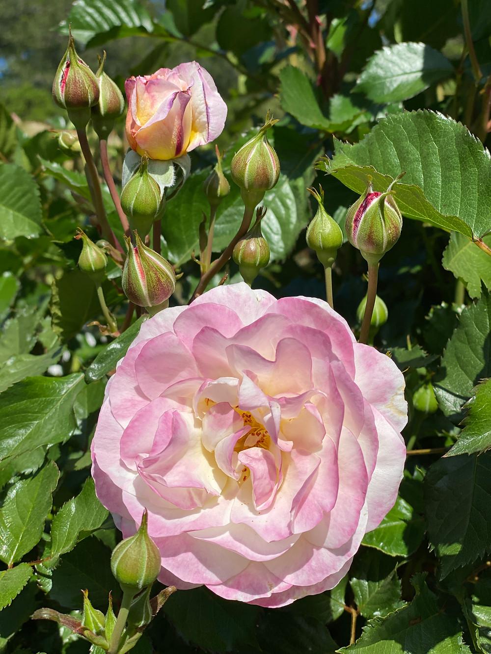 Beautiful pink roses at RockHavenFarm.com