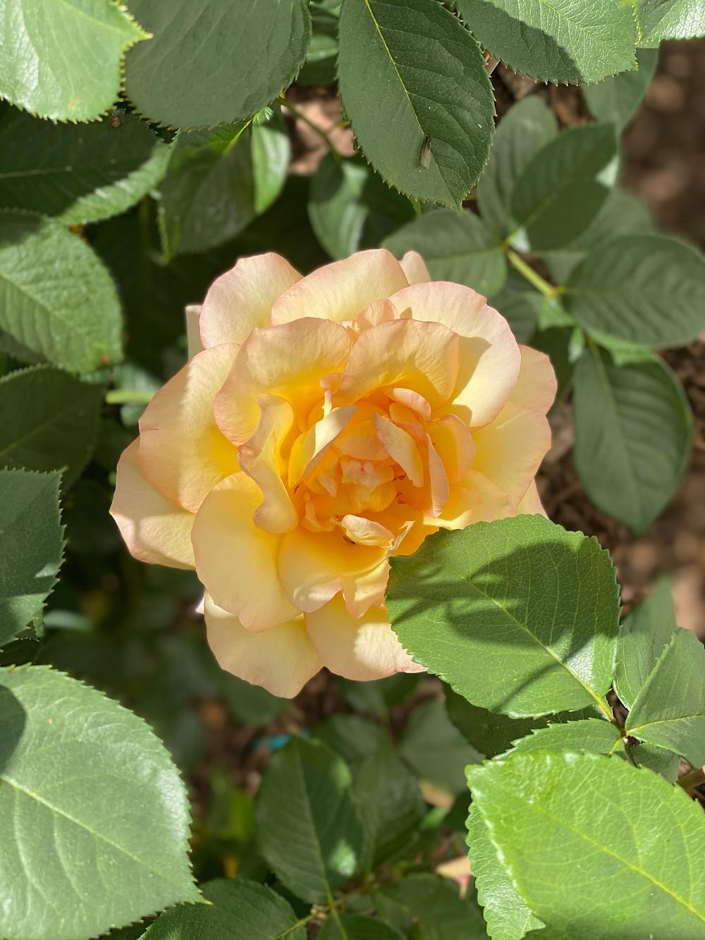 Yellow rose bush at RockHavenFarm.com