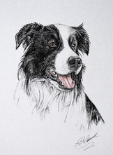 Border Collie -Colored Ink and Pen