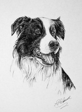 Border Collie - Pen and Ink