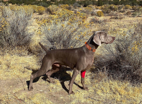 Canine Field Injuries, Be Prepared