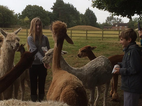 Alpaca Encounter
