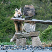 Red Fox and Cairn