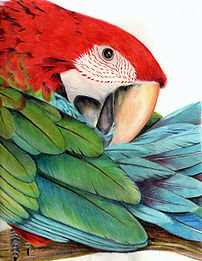 GreenWingMacaw_edited.jpg