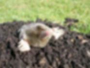 mole control devon & cornwall