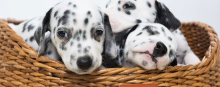 Transitioning Puppies onto Raw Foods Our Way