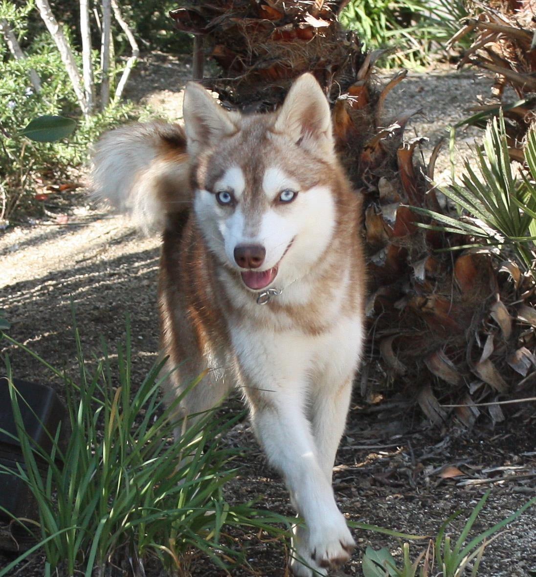 Miniature Huskies For Adoption California Alaskan Klee Kai Puppies