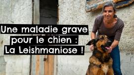 Une maladie grave pour le chien : La Leishmaniose !