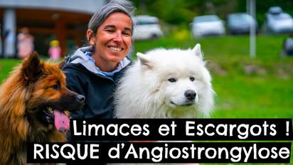 Limaces et Escargots ! RISQUE d'Angiostrongylose