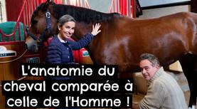L'anatomie du cheval comparée à celle de l'Homme !