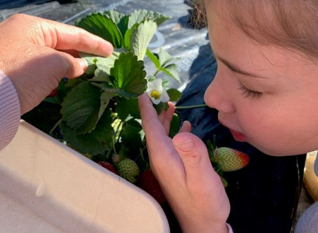 Let's go Strawberry Picking 🍓 - By Laura Garcia and Dr Bronwen Scott