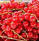 Johannisbeeren Obsthf Kunz