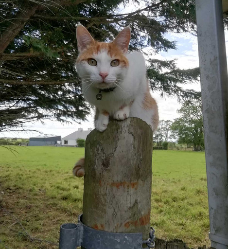 Best Covid Cat Week 10 - Bernadette Murphy with Ginger