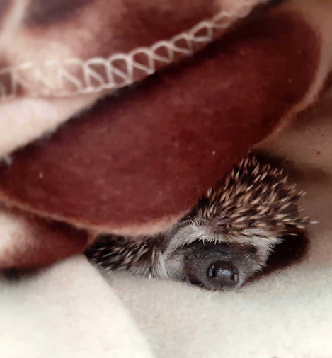 Best Pandemic Pet Week 11Kim Tully with Saga the African Pygmy Hedgehog