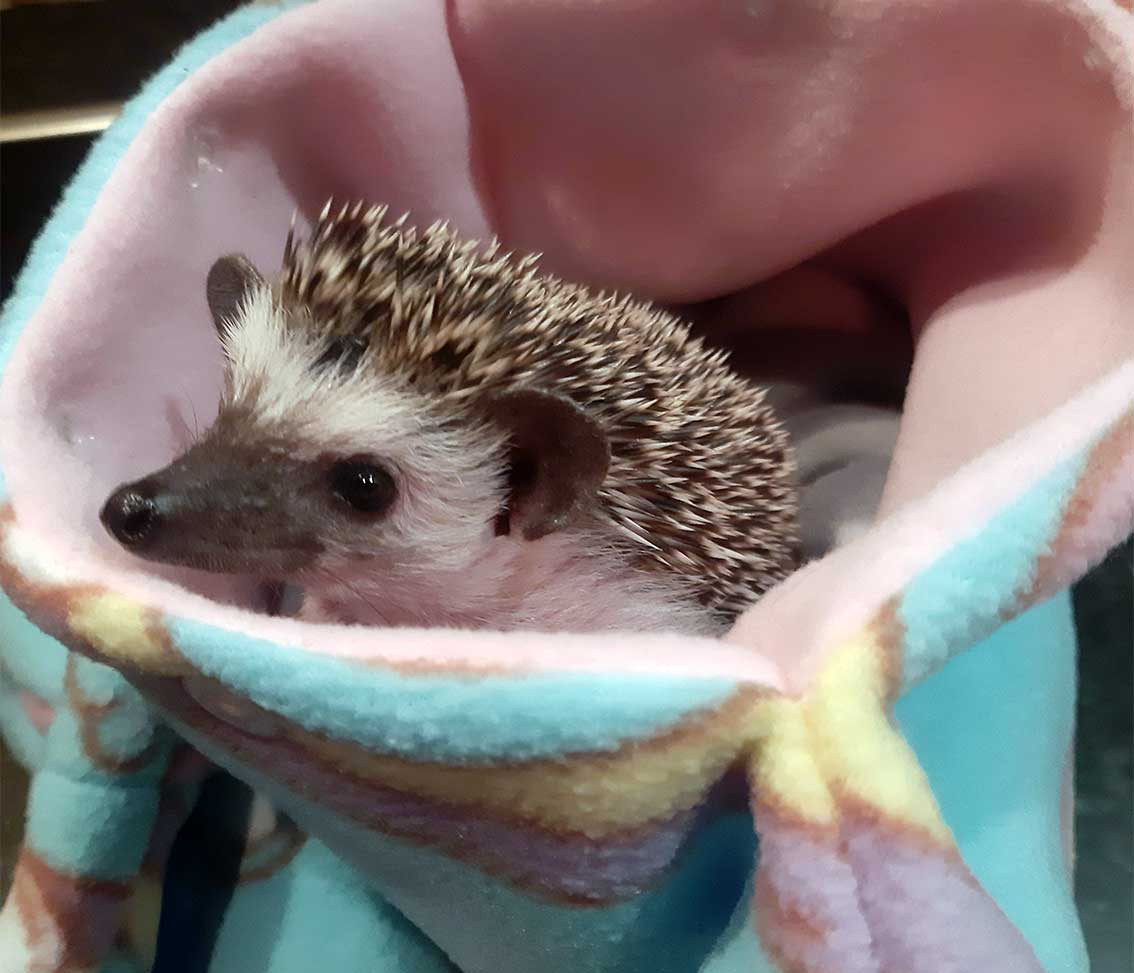 Best Pandemic Pet Week 11Kim Tully with Saga the African Pygmy Hedgehog