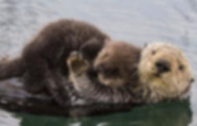 header-sea-otter-reintroduction-1-2048x985_edited.jpg