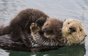 header-sea-otter-reintroduction-1-2048x985_edited.jpg
