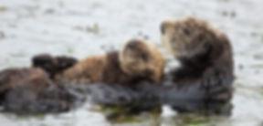 header-sea-otter-reintroduction.jpg