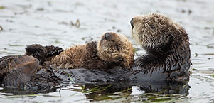 header-sea-otter-reintroduction.jpg