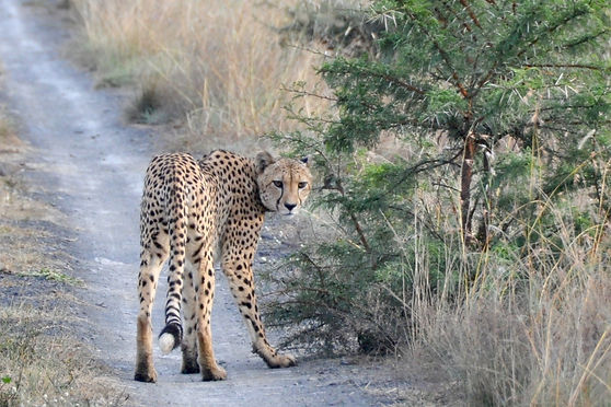 Guépard in Nambiti Private Reserve South Africa by Alexandre R