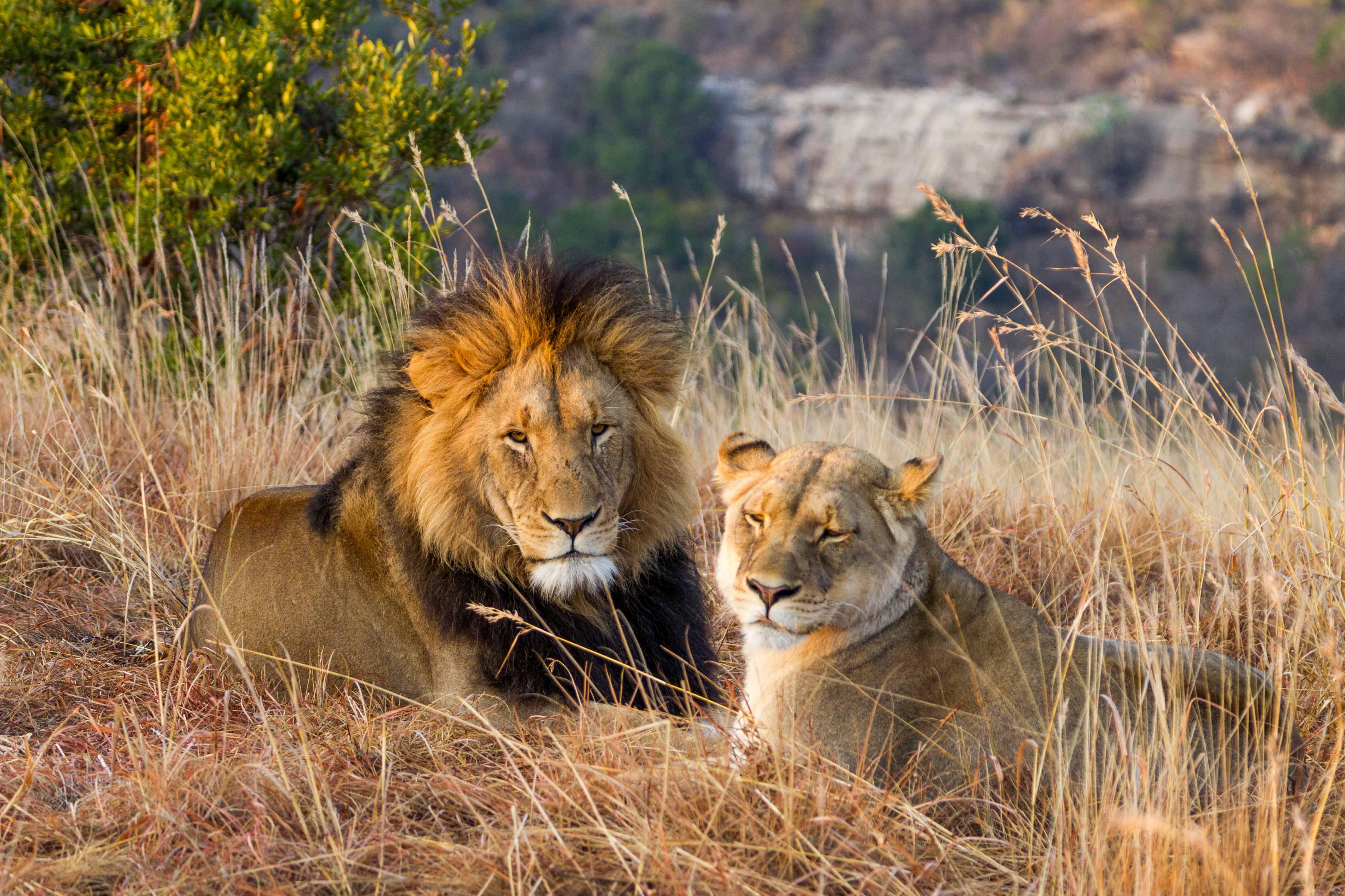 Lion Esiweni (Afrique du Sud)