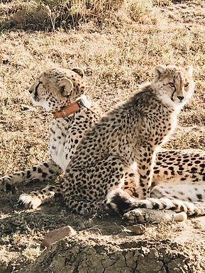 Guépard de la réserve rivée de Nambiti, Esiweni, en Afrique du Sud