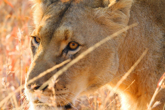 Lionne in Nambiti Reserve with Esiweni Luxury Safari Lodge