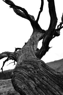 Dead trees - Beddgelert