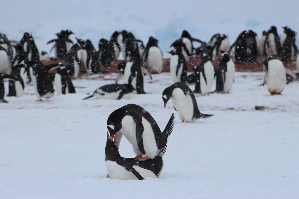 Penguins mating