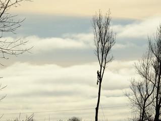 Massive 120' poplar tree removal