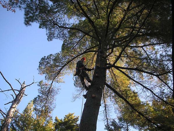 DLG tree service arborist removing a mature White Pine on Six Mile Lake, Georgian Bay