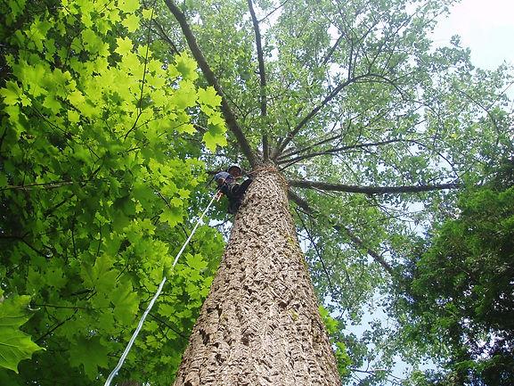 Taking down a large poplar tree