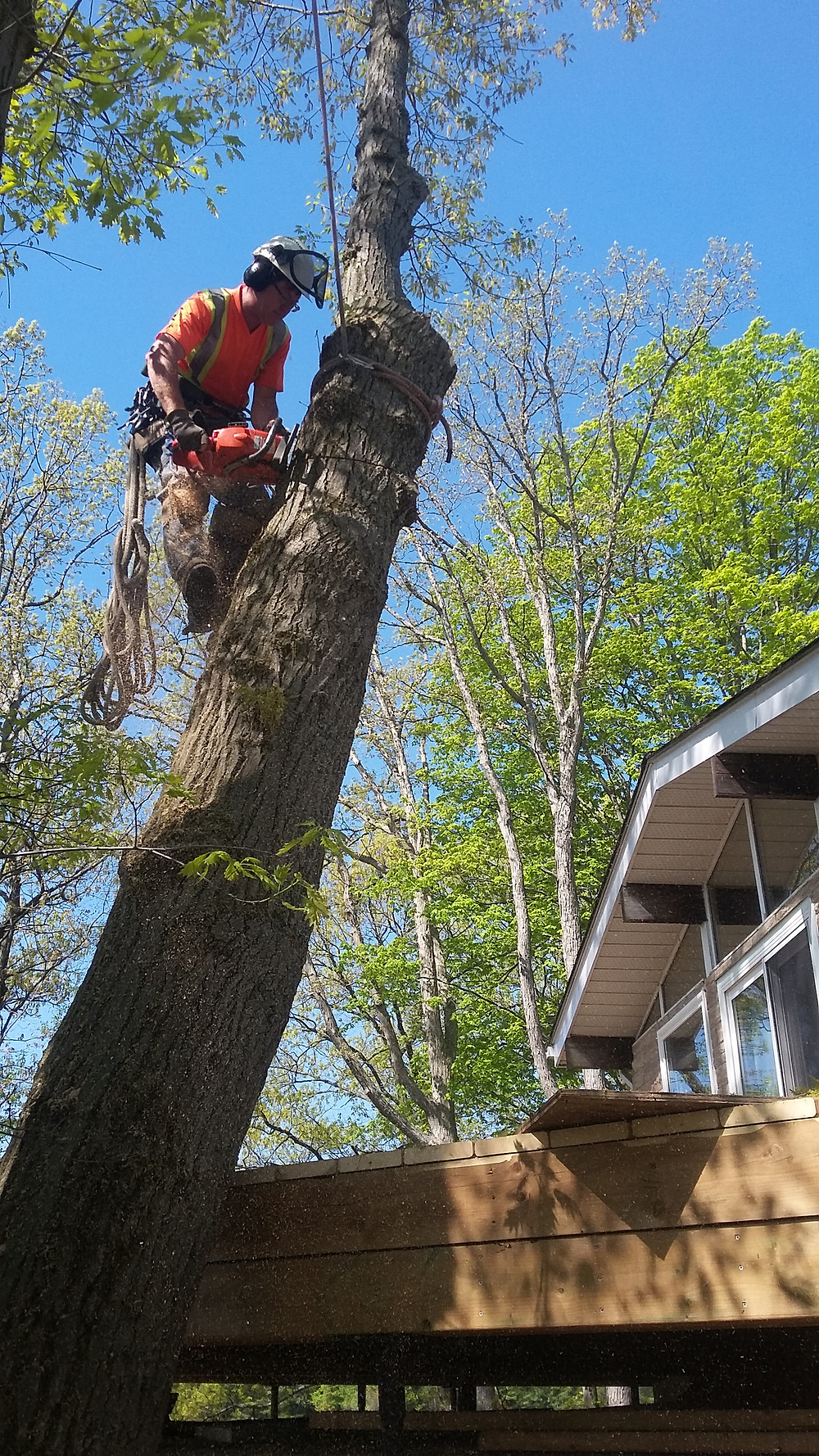 DLG tree service climber / arborist removing a mature silver maple over the cottage deck in port severn, georgian bay.