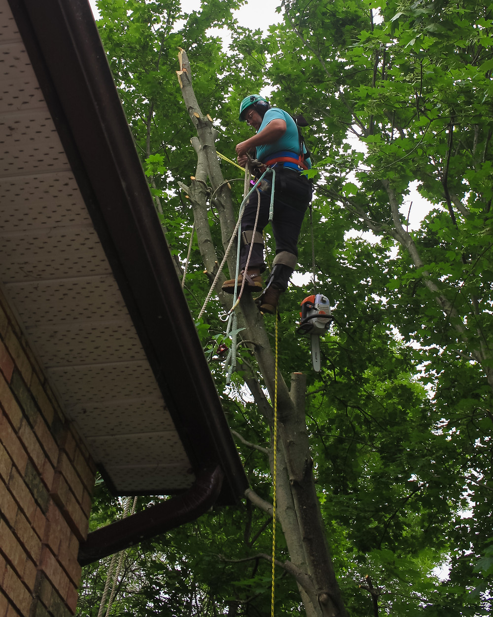 DLG tree service arborist / tree climber removing a silver maple leaining over the clients garage in the east end of Barrie.