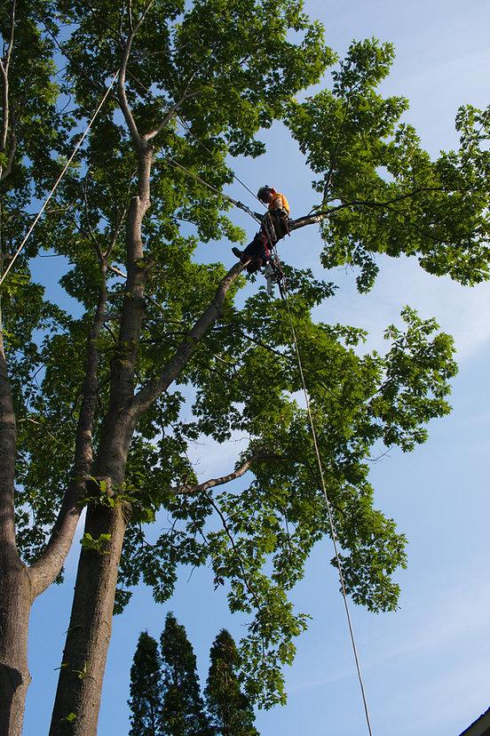 dlg tree service arborist trimming a tree in wasaga beach