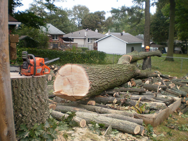 removing a large red oak tree on sunnidale rd., the city of barrie