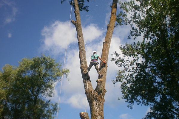 DLG tree service removing a large Oak tree in Hillsdale, Springwater township.