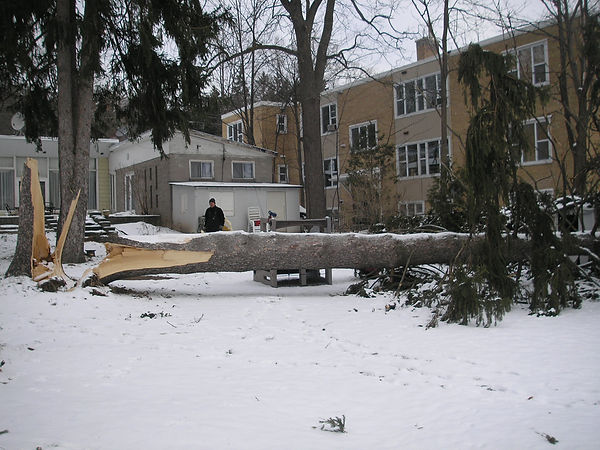 Large spruce tree blown over in Barrie Ontario