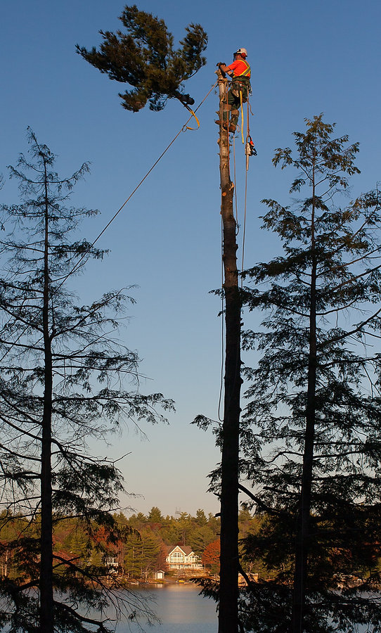 dlg tree expert taking down a eastern white pine tree on six mile lake georgian bay