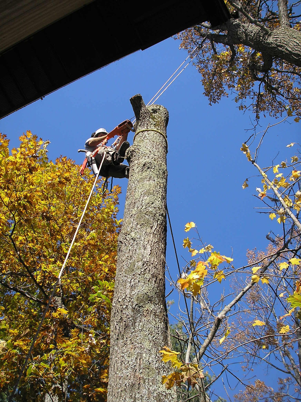 Large oak tree being removed in Wasaga Beach by DLG tree service climber / arborist.