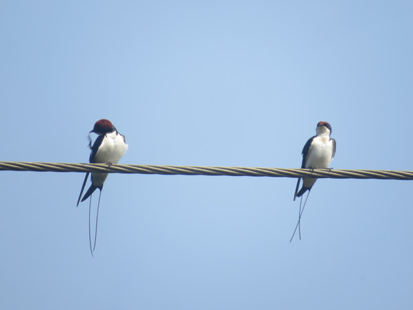 Wire-Tailed Swallow1.JPG