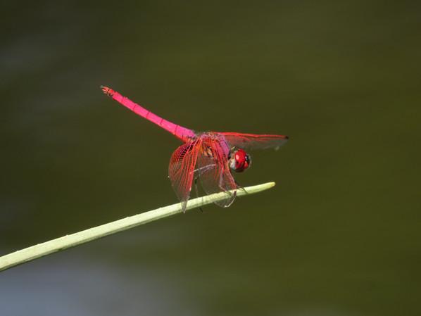 Red Emperor_dragonfly.JPG