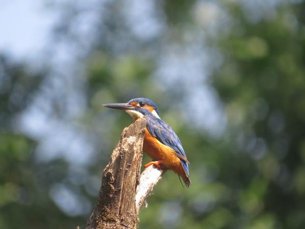 Small Blue (Common) Kingfisher1.JPG