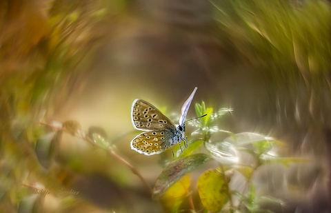 BBR-papillon.jpg
