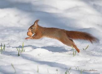 Ecureeuil dans la neige